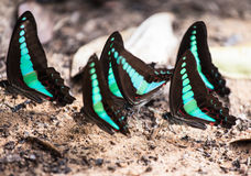 Common bluebottle butterfly Royalty Free Stock Photography