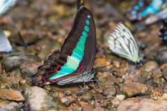Common Bluebottle butterfly Royalty Free Stock Photo
