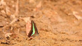 Common Bluebottle Butterfly High Definition Stock. The common bluebottle butterfly graphium sarpedon luctatius from the Papilionidae family, drinking water from stock footage