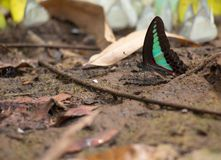 Common Bluebottle Butterfly on the ground stock image