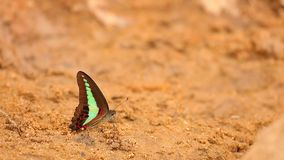 Common Bluebottle Butterfly HD Stock Footage. The common bluebottle butterfly graphium sarpedon luctatius from the Papilionidae family, drinking water from the stock footage