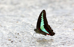 Common Bluebottle Graphium sarpedon Butterfly Stock Photos