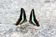 Common Bluebottle Graphium sarpedon Butterfly Stock Image