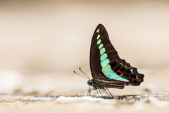 Common bluebottle (Graphium sarpedon) Butterfly Stock Image