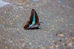 Common Bluebottle. -Graphium sarpedon connectens  Fruhstorfer drinking water Stock Image