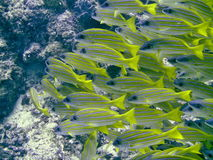 Common bluestripe snapper Stock Image