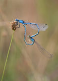 Common Bluet heart Stock Image