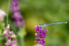 Common Bluetail Damselfly on purple flower Stock Image