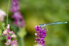 Common Bluetail Damselfly on purple flower Stock Image