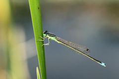 Common bluetail Royalty Free Stock Image