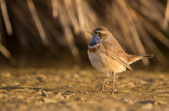 Common Bluethroat Stock Photos
