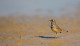 Common Bluethroat Royalty Free Stock Photo
