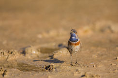 Common Bluethroat Royalty Free Stock Images