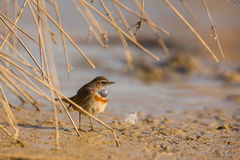 Common Bluethroat Stock Images