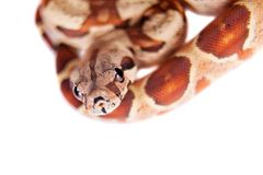 The common boa on white background Royalty Free Stock Images