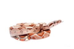 The common boa on white background Royalty Free Stock Photo