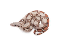 The common boa on white background Stock Image