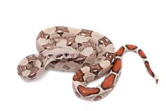The common boa on white background Royalty Free Stock Image