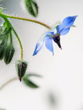 Common borage flower Stock Image