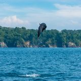 Common bottlenose dolphin. Tursiops truncatus, dolphin jumping high in Costa Rica royalty free stock photography