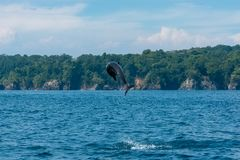 Common bottlenose dolphin. Tursiops truncatus, dolphin jumping high in Costa Rica royalty free stock image
