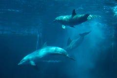 Common bottlenose dolphin (Tursiops truncatus). Common bottlenose dolphins (Tursiops truncatus). Wild life animal Stock Image