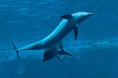 Common bottlenose dolphin (Tursiops truncatus). Royalty Free Stock Photography