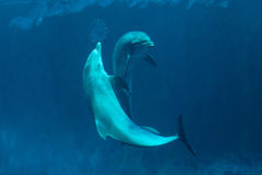 Common bottlenose dolphin (Tursiops truncatus). Common bottlenose dolphins (Tursiops truncatus). Wild life animal Stock Photography