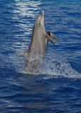 Common Bottlenose Dolphin - Tursiops truncatus Royalty Free Stock Photography