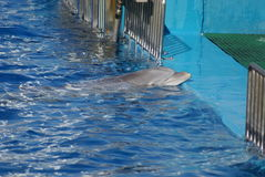 Common Bottlenose Dolphin - Tursiops truncatus. An emerging Common Bottlenose Dolphin - Tursiops truncatus Royalty Free Stock Photo