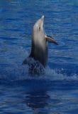 Common Bottlenose Dolphin - Tursiops truncatus Royalty Free Stock Photo