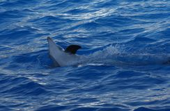 Common Bottlenose Dolphin - Tursiops truncatus. An emerging Common Bottlenose Dolphin - Tursiops truncatus Royalty Free Stock Photography