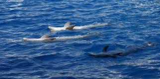 Common Bottlenose Dolphin - Tursiops truncatus. An emerging Common Bottlenose Dolphin - Tursiops truncatus Stock Image