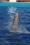 Common Bottlenose Dolphin - Tursiops truncatus. An emerging Common Bottlenose Dolphin - Tursiops truncatus Stock Photos