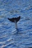 Common Bottlenose Dolphin - Tursiops truncatus Stock Images