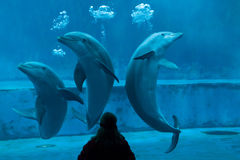 Common bottlenose dolphin (Tursiops truncatus). GENOA, ITALY - MARCH 22, 2016: Animal trainer performs with common bottlenose dolphins (Tursiops truncatus) in Royalty Free Stock Image