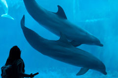 Common bottlenose dolphin (Tursiops truncatus). GENOA, ITALY - MARCH 22, 2016: Visitor observes as common bottlenose dolphins (Tursiops truncatus) swim in the Royalty Free Stock Photography