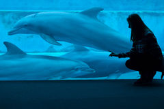 Common bottlenose dolphin (Tursiops truncatus). GENOA, ITALY - MARCH 22, 2016: Visitor observes as common bottlenose dolphins (Tursiops truncatus) swim in the Royalty Free Stock Photo
