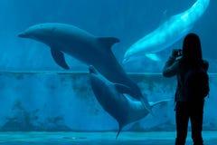 Common bottlenose dolphin (Tursiops truncatus). GENOA, ITALY - MARCH 22, 2016: Visitor takes photos as common bottlenose dolphins (Tursiops truncatus) swim in Stock Photo