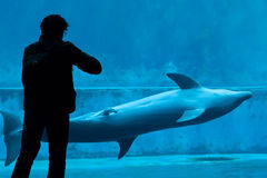 Common bottlenose dolphin (Tursiops truncatus). GENOA, ITALY - MARCH 22, 2016: Visitor takes photos as the common bottlenose dolphin (Tursiops truncatus) swims royalty free stock images