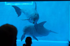 Common bottlenose dolphin (Tursiops truncatus). GENOA, ITALY - MARCH 22, 2016: Visitors observe as common bottlenose dolphins (Tursiops truncatus) swim in the Royalty Free Stock Photography