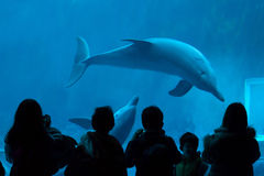 Common bottlenose dolphin (Tursiops truncatus). GENOA, ITALY - MARCH 22, 2016: Visitors observe as common bottlenose dolphins (Tursiops truncatus) swim in the Stock Photo