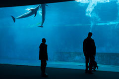 Common bottlenose dolphin (Tursiops truncatus). GENOA, ITALY - MARCH 22, 2016: Visitors observe as common bottlenose dolphins (Tursiops truncatus) swim in the Stock Images