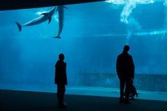 Common bottlenose dolphin (Tursiops truncatus). Stock Images