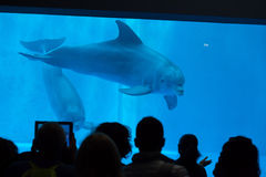 Common bottlenose dolphin (Tursiops truncatus). GENOA, ITALY - MARCH 22, 2016: Visitors observe as common bottlenose dolphins (Tursiops truncatus) swim in the Royalty Free Stock Photos