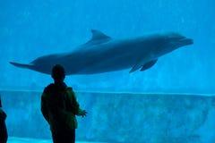 Common bottlenose dolphin (Tursiops truncatus). Royalty Free Stock Image