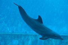 Common bottlenose dolphin (Tursiops truncatus). Royalty Free Stock Photo