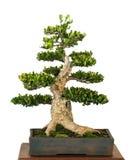 Common box as bonsai tree Stock Photos