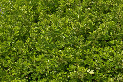 Common boxwood Royalty Free Stock Photography