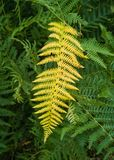 Common Bracken fern yellow colour. A strong contrast image produced by a single yellow leaf of a Common Bracken, Pterydium aquilinum, in the middle of all green stock photography